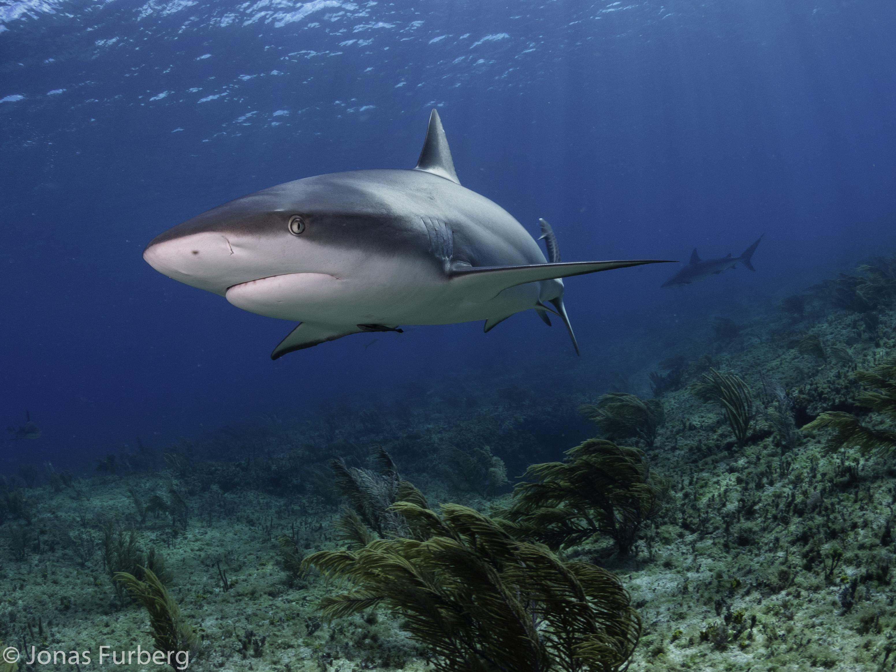 Shark in the Bahamas (c) Jonas Furberg