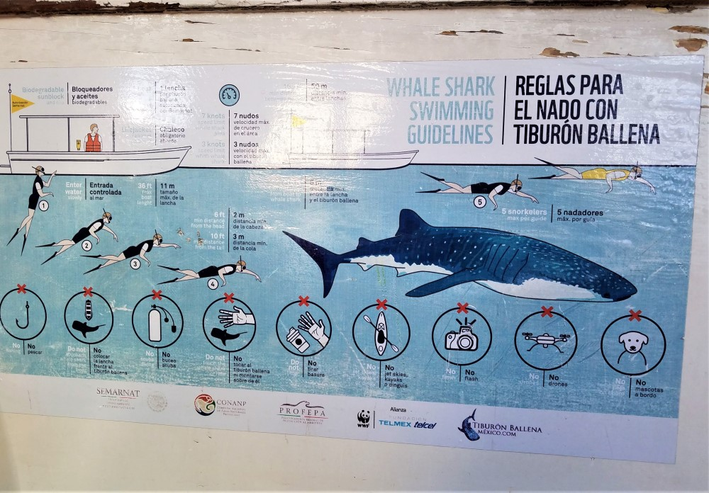 Rules for snorkeling with whale sharks in La Paz, Mexico
