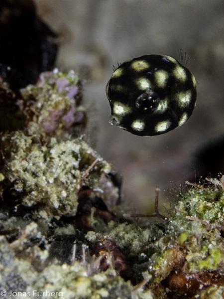 Juvenile trunkfish (c) Jonas Furberg